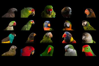 Composite of 20 Different Species of Parrots