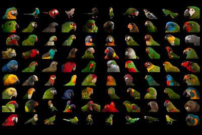 Composite of 90 Different Species of Parrots