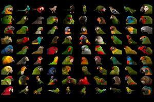 Composite of 90 Different Species of Parrots by Joel Sartore