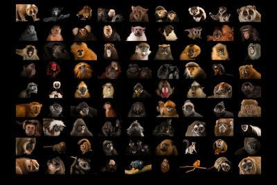 Composite of 90 Different Species of Primates