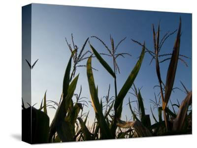 Corn Field at the Historic Waveland Farm near Walton, Nebraska