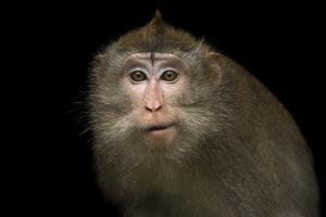 Crab eating macaque or long tailed macaque, Macaca fascicularis, at the Singapore Zoo. by Joel Sartore