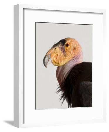 Critically Endangered California Condor, Gymnogyps Californianus