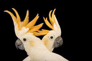 Critically endangered citron crested cockatoos at Jurong Bird Park. by Joel Sartore