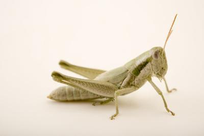 Cudweed grasshopper or mugwort grasshopper, Hypochlora alba by Joel Sartore