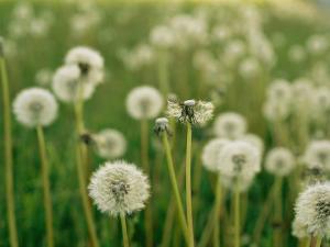 Dandelion Heads in a Field Near Walton, Nebraska by Joel Sartore