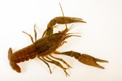 Deceitful crayfish, Procambarus fallax, collected at Beecher Springs Run by Joel Sartore