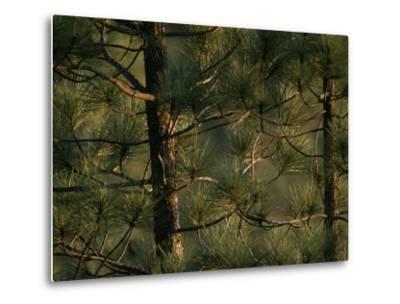 Detail of Pine Trees in the Black Hills of South Dakota