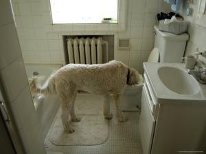 Dog Drinks Out of a Toilet by Joel Sartore