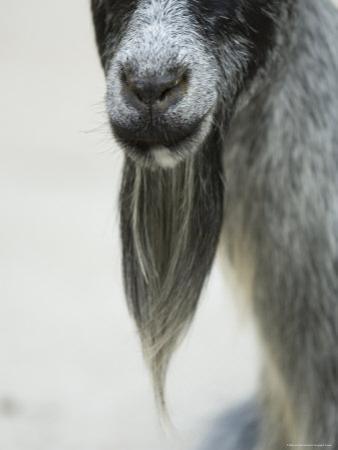 Domestic Goats from the Omaha Zoo, Nebraska by Joel Sartore