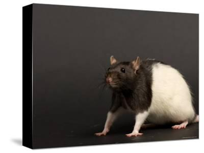 Domestic Rat at the Sunset Zoo, Kansas