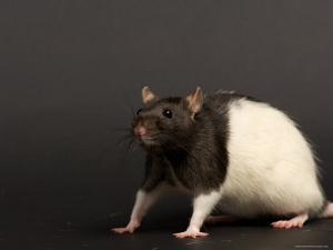 Domestic Rat at the Sunset Zoo, Kansas by Joel Sartore