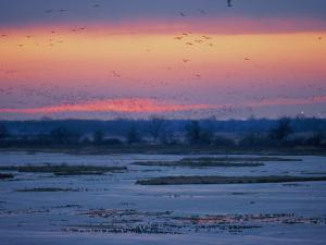 Ducks and Geese Take Flight over the Frozen Platte River at Twilight by Joel Sartore