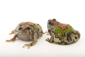 Endangered Malagasy Rainbow Frogs, Scaphiophryne Gottlebei by Joel Sartore
