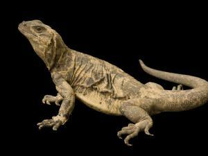 Endangered San Esteban Chuckwalla by Joel Sartore