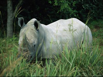 Endangered White Rhinoceroses by Joel Sartore