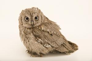 Eurasian scops owl, Otus scops scops, at Alpenzoo in Innsbruck, Austria. by Joel Sartore