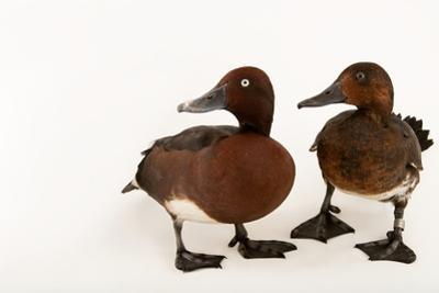 Ferruginous Ducks, Aythya Nyroca, at Sylvan Heights Bird Park