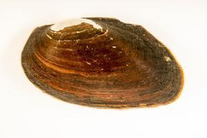 Flat spike mussel, Elliptio jayensis, at Welaka National Fish Hatchery Aquarium. by Joel Sartore