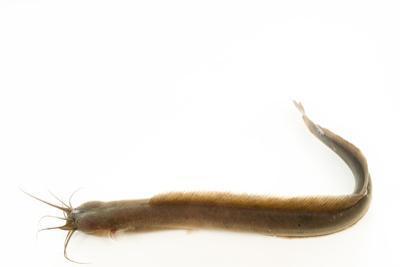 Flathead eel catfish, Gymnallabes typus by Joel Sartore