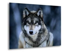 Gray Wolf at the International Wolf Center Near Ely by Joel Sartore