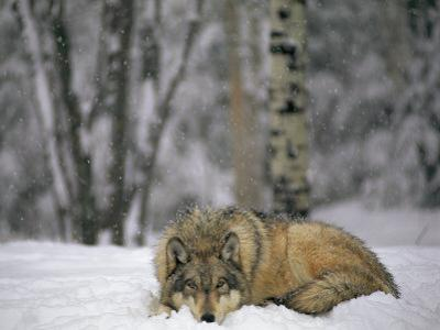 Gray Wolf in the New-Fallen Snow at the International Wolf Center by Joel Sartore