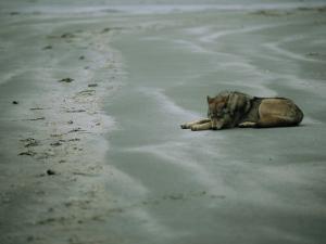 Gray Wolf on Beach by Joel Sartore