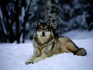 Gray Wolf Resting on New-Fallen Snow by Joel Sartore