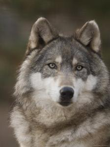 Gray Wolves at the Rolling Hills Wildlife Adventure by Joel Sartore