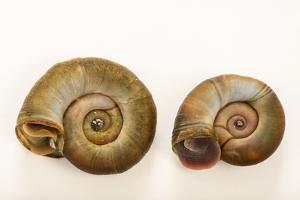 Great ramshorn snails, Planorbarius corneus, at Alpenzoo in Innsbruck, Austria. by Joel Sartore