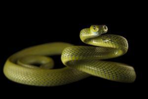 Green cat snake, Boiga cyena, at the Assam State Zoo. by Joel Sartore