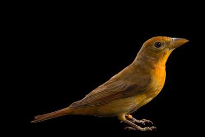 Hepatic tanager, Piranga flava by Joel Sartore