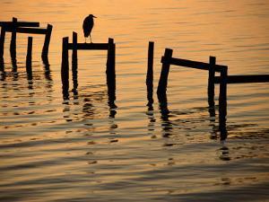Heron on Dock by Joel Sartore