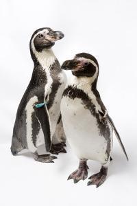 Humboldt Penguins, Spheniscus Humboldti, at Great Plains Zoo. by Joel Sartore