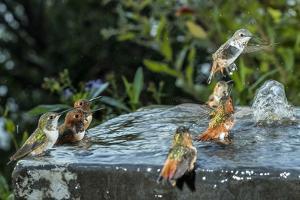Hummingbirds in a bird bath. by Joel Sartore