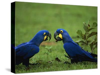 Hyacinth Macaws in a Clearing Feed on Acuri Palm Nuts