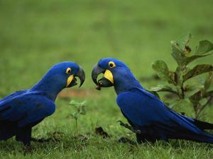 Hyacinth Macaws in a Clearing Feed on Acuri Palm Nuts by Joel Sartore
