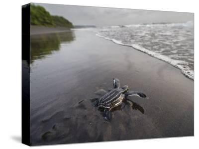 Instinct sends a young leatherback turtle seaward