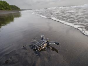 Instinct sends a young leatherback turtle seaward by Joel Sartore