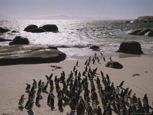 Jackass Penguins Along the Shoreline in Cape Town by Joel Sartore