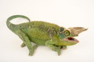 Jackson's three horned chameleon, Trioceros jacksonii, at the Budapest Zoo. by Joel Sartore