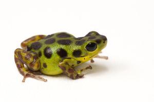 La Gruta Morph of the Strawberry Poison Dart Frog, Oophaga Pumilio by Joel Sartore