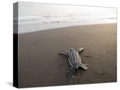 Leatherback Sea Turtle Hatchling Crawls Toward the Ocean