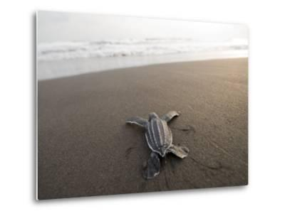 Leatherback Sea Turtle Hatchling Crawls Toward the Ocean