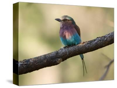 Lilac-Breasted Roller at the Kansas City Zoo