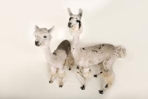 Llamas, Lama Glama, after a Recent Summer Haircut at the Lincoln Children's Zoo. by Joel Sartore