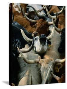 Longhorn Cattle are Packed in During a Roundup by Joel Sartore