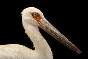 Maguari stork, Ciconia maguari by Joel Sartore