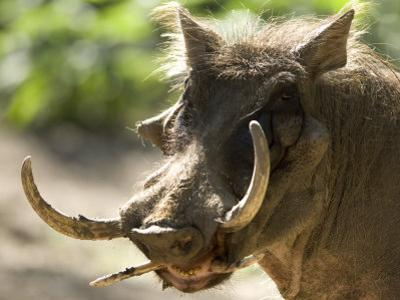 Mean Looking Warthog with Very Long Tusks Looks at the Camera, Henry Doorly Zoo, Nebraska