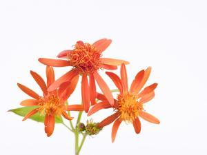 Mexican Flame Vine Flowers, Pseudogynoxys Chenopodioides by Joel Sartore